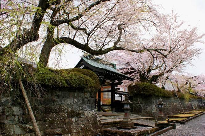 sakura in japan fujinomiya excursion