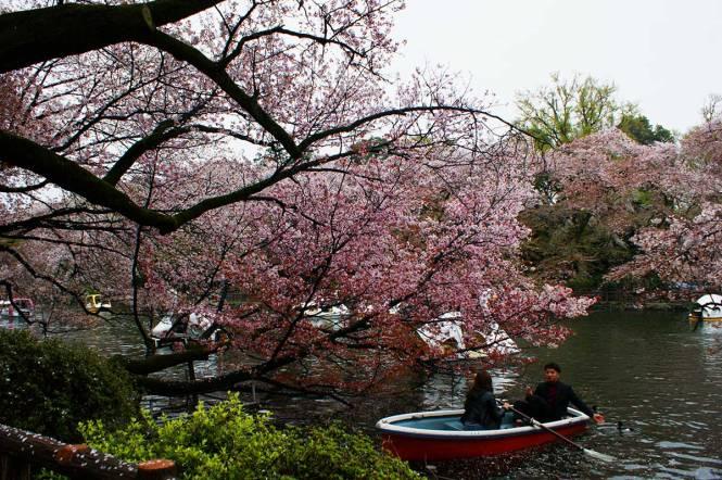 sakura-in-japan-kichijouji-tokyo