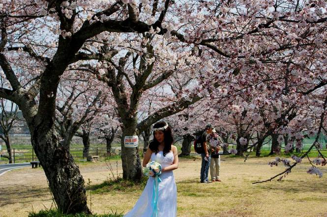sakura in japan arashiyama bride
