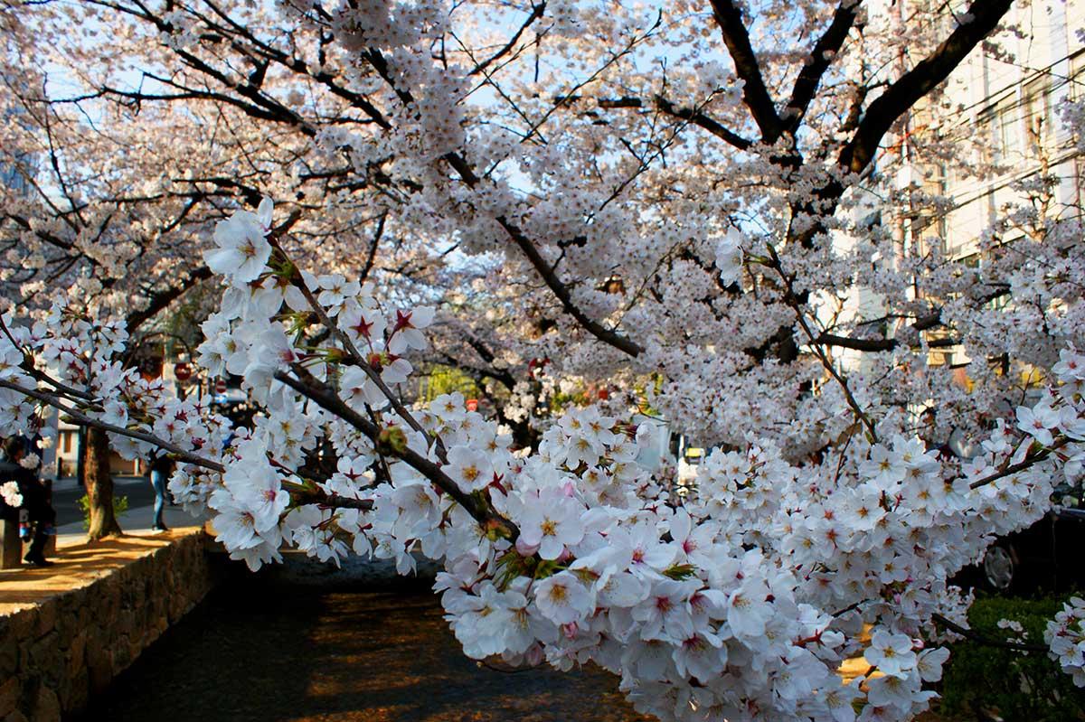 sakura in japan kyoto