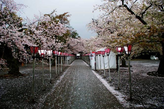 sakura in japan mishima