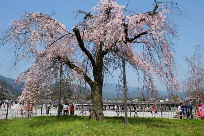 sakura in japan arashiyama