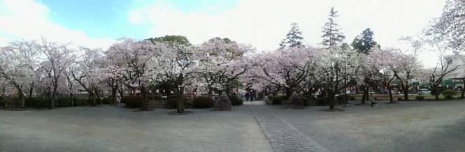 sakura near fuji san